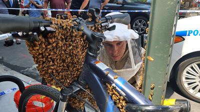 El detective Daniel Higgins comienza el proceso de eliminación de las abejas que envuelven la parte delantera de una bicicleta estacionada en Midtown Manhattan en Nueva York.