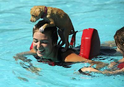 Salvavidas Bristen Kent nada alrededor de la piscina como su mascota de 7 semanas de edad, Paisley.