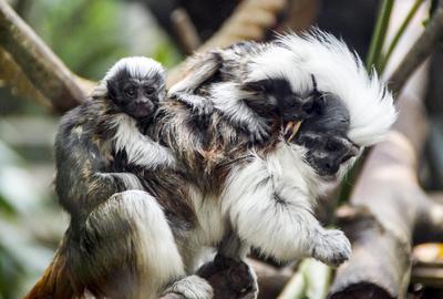 Gemelos de bebé tití cabeciblanco de un mes de nacidos (Saguinus) se aferran a su padre en el Parque Safari Indonesia en Pasuruan, Java Oriental, Indonesia.