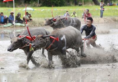 Un granjero en Tailandia participa en una competencia de bufalos en la provinciai de Choburi.