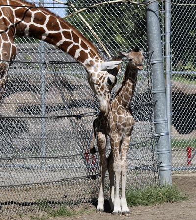 Foto proporcionada por el zoológico de Detroit, una cría de jirafa, derecha, recibe la visita de su hermano mayor, Mpenzi, en el zoológico de Detroit en Royal Oak, Michigan.