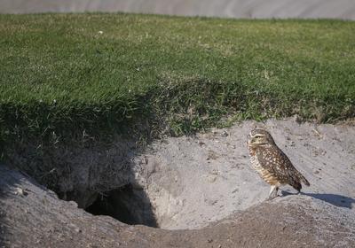 Un búho de madriguera brasileña hace su hogar en un búnker de arena a lo largo del primer hoyo en el campo de golf olímpico en Río de Janeiro , Brasil.