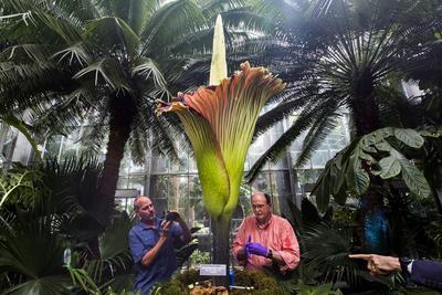 El conservador de plantas del Jardín Botánico de los Estados Unidos Bill McLaughlin (c-i) toma una fotografía al científico de Takasago Internacional Michael Fisher (c-d) mientras toma unas muestras de olor de una planta Amorphophallus titanum, en Washington.