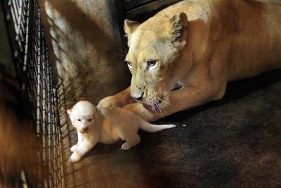 Felina blanca Cleopatra, uno de los tres cachorros de tigre recién nacidos en Tiflis Zoológico, Georgia.