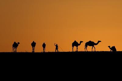 Un beduino vigila a su manada de camellos al atardecer en la localidad de Beersheba, al sur de Israel.