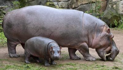 """Una cría de hipopótamo llamada """"Pumeza"""" come con su madre """"Cherry"""" durante su bautizo en el zoo Erlebnis en Hannover, Alemania."""