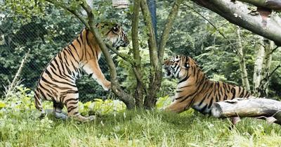 Los tigres siberianos Yasha (dcha) y Maruschka (izq) se conocen durante su primer encuentro en sus instalaciones del Zoo Hagenbeck en Hamburgo (Alemania).
