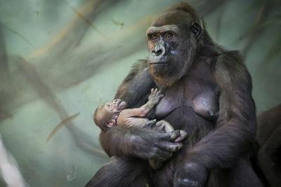 Gorila Kira sostiene a su bebé en el parque zoológico de Moscú. El bebé nació en julio 22 y ella ya está viviendo con su madre y otros gorilas.