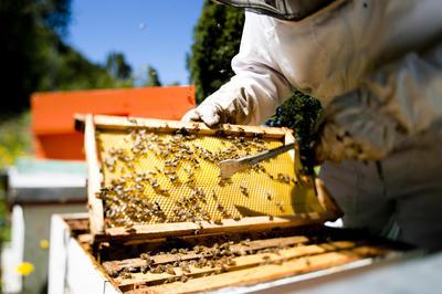 SANTIAGO DE CHILE (CHILE).- Fotografía cedida por el Servicio Agrícola Ganadero (SAG) de un hombre extrayendo miel de una colmena. Esenciales para la agricultura, indicadoras de la salud del medio ambiente y promotoras de la diversidad biológica; y pese a que las abejas portan el título de guardianes del ecosistema mundial, cada día están más expuestas a peligros que las llevarían a la extinción. EFE