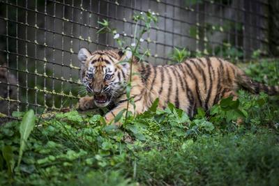 VESZPREM (HUNGRÍA).- Una cría de dos meses de tigre siberiano gruñe en sus instalaciones del Zoo de Veszprem, a 108 kilómetros al suroeste de Budapest (Hungría). La cría es una de las dos nacidas en el Zoo el pasado mes de junio. EFE