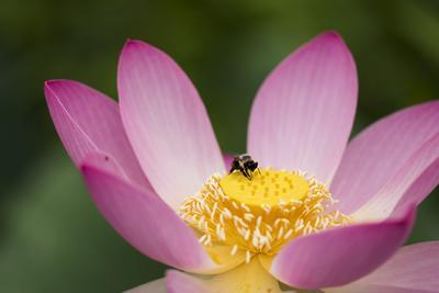 Detalle de una abeja sobre una flor de loto fluorescente en los Jardines Acuáticos de Kenilworth en Washington, Estados Unidos.