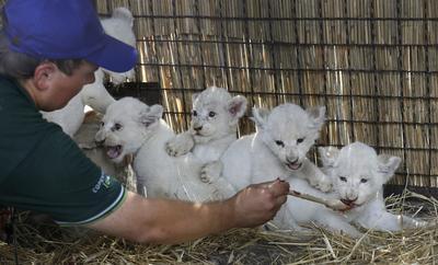 Un cuidador atiende a las cinco crías de león blanco, lamen una cuchara en sus instalaciones del zoo privado en la localidad de Demydiv, a unos 50 kilómetros al norte de Kiev (Ucrania).