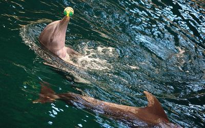 Varna (Bulgaria ).- Los delfines se realizan acrobacias durante un espectáculo en el delfinario en la ciudad de Varna, a unos 400 km de Sofía, Bulgaria. El único delfinario no sólo en Bulgaria, pero en los Balcanes fue abierto el 11 de agosto de 1984. Los delfines llegaron por primera vez en Varna en 1984 de un delfinario cubano. Los delfines Tursiops truncatus originarios de las aguas de Guatemala. En la actualidad, hay 5 delfines, 2 machos y 3 hembras. Algunos de ellos nacieron en la Festa delfinario. Nacimientos de delfines en un ambiente artificial son raros, pero al Festa delfinario, los nacimientos eran práctica normal . EFE