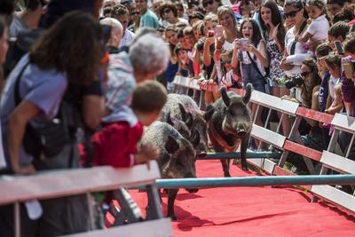 Varios cerdos participan en una carrera para celebrar la festividad rural en honor a María Ascensión en San Bernardino (Suiza).