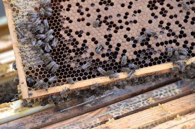 BERLÍN (ALEMANIA).- Detalle de un panal de abejas ubicado en el tejado de la sede del estado federal de Brandenburgo, en Berlín, Alemania. La apicultura en los tejados de los edificios de la ciudad se está convirtiendo en una práctica cada vez más popular. EFE