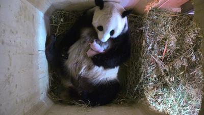 """VIENA.- Fotografía facilitada por el Zoo Schönbrunn de Viena, que confirmó hoy que la hembra de oso panda que el pasado domingo dio a luz a un animal tuvo en realidad gemelos. """"Las (primeras) fotografías solo mostraban un animal"""", ha explicado el zoológico Schönbrunn de Viena en un comunicado emitido hoy. El nacimiento de las crías se llevó a cabo con el método natural en el que el personal del zoo no interviene de ninguna forma y la madre y sus crías son observadas únicamente mediante una cámara, explica la nota. EFE"""