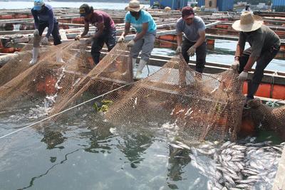 TONGYEONG (COREA DEL SUR).- Varios trabajadores recogen una red llena de peces muertos en un criadero en la costa de Tongyeong, a 500 km al sureste de Seúl, Corea del Sur. Una ola de calor ha provocado la muerte en masa de peces de los criaderos surcoreanos. EFE