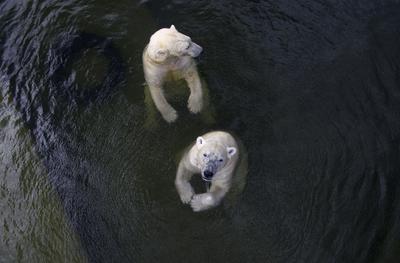 GELSENKIRCHEN (ALEMANIA).- Los osos polares Bill y Lara se refrescan en la piscina de sus instalaciones en el parque zoológico Zoom en Gelsenkirchen, Alemania, . EFE