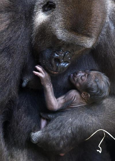 VALENCIA.- La gorila de 10 años de edad, Nalani, sujeta en brazos a su cría tras dar a luz ayer de forma natural y a la vista del público en el Bioparc Valencia. EFE