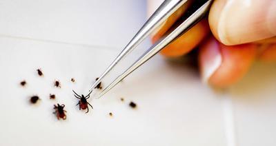 BILTHOVEN (HOLANDA).- Varias garrapatas son estudiadas en el Instituto Nacional de Salud Pública y de Medioambiente en Bilthoven (Holanda). El virus de la encefalitis por garrapatas (TBE) puede llegar a derivar en meningitis. EFE