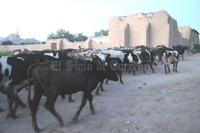 Movilización. Cientos de cabezas de ganado fueron resguardadas en zonas más altas de La Loma, ante la llegada del agua del río.