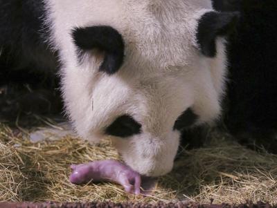 Atlanta (Estados Unidos).- Una foto publicada por el Zoológico de Atlanta muestra a la madre panda Lun Lun con el primero de sus dos cachorros nacidos en el zoológico de Atlanta,Georgia. Los gigantes cachorros de panda son los primeros nacidos en los EE.UU. en 2016 y el segundo par de gemelos de Lun Lun, de acuerdo con el Zoológico de Atlanta. (Estados Unidos ) EFE