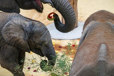 Viena (Austria ) .- Iqhwa elefante africano de tres años de edad (frontal L), su media hermana Mongú (R) y su madre Tonga (espalda) agarran rebanadas de fruta durante la fiesta de cumpleaños de Iqhwa en la casa del elefante en el  zoológico Tiergarten Schoenbrunn en Viena, Austria. Iqhwa nació en el zoológico después de la primera inseminación artificial siempre con éxito de un elefante africano usando esperma congelado tomado del macho elefante salvaje Steve en Sudáfrica. EFE