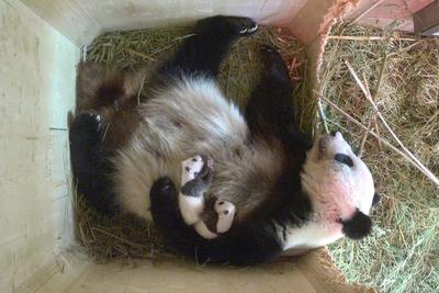 VIENA.- Fotografía facilitada por el Zoo de Schönbrunn, de los osos pandas gemelos de Viena, nacidos hace un mes en el zoológico de Schönbrunn, que han sido identificados como macho y hembra. Los cuidadores del zoo dejan la custodia de los pandas por completo a la madre, Yang Yang, y se limitan a observar el proceso de crecimiento a través de las cámaras ubicadas en el nido. EFE