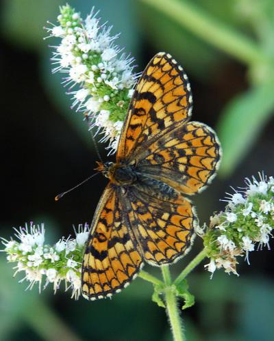 HONOLULU (HI, EEUU).- Fotografía de divulgación del Centro de Cooperación del Mediterráneo de la Unión Internacional para la Conservación de la Naturaleza (UICN), que alerta de que 19 especies de mariposas de la región, 15 de ellas endémicas, están a punto de desaparecer. Estos datos proceden de un informe presentado en el Congreso Mundial de la Naturaleza de la UICN que se celebra en Hawai hasta el 10 de septiembre, y que ha evaluado 462 mariposas nativas del Mediterráneo, de las que el 21 % son endémicas, y sólo se encuentra en la región, principalmente en el norte de África. Los investigadores han detectado que la mayor riqueza de especies se halla en las zonas montañosas del sur de Francia, norte de Grecia y sur de Turquía, donde la alta diversidad de microclimas favorece a muchas especies de estos insectos emblemáticos y muy populares entre la ciudadanía. EFE