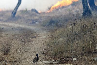 SOURE (PORTUGAL).- Un conejo huye del incendio forestal en la localidad Soure de Coimbra, Portugal. El incendio estaba considerado extinguido hasta que se reactivó esta mañana. EFE