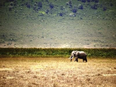 """BANGKOK.- Fotografía facilitada por la Universidad James Cook de Australia de un elefante en un paraje natural en el norte de Tanzania. Un diez por ciento de la superficie de la naturaleza virgen del planeta, alrededor de unos 3,3 millones de kilómetros cuadrados, ha desaparecido en las últimas dos décadas, especialmente en la Amazonía y África Central, según un estudio publicado hoy en Australia. """"A pesar de que son los reductos de la biodiversidad en peligro y que contribuyen a regular los climas locales y al mantenimiento de muchas comunidades indígenas, las áreas silvestres están desapareciendo ante nuestros ojos"""", dijo en un comunicado William Laurance, experto de la Universidad James Cook en Australia que participó en el estudio. EFE"""