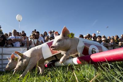 Ecuvillens (Suiza).- Los espectadores miran la carrera de cerdos en la feria del agricultor en Ecuvillens, Suiza. La carrera de cerdos es uno de los principales atractivos de la feria anual. EFE