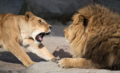 Hamburgo (Alemania ).- Una Leona (L) de bostezos al lado de un león macho (R) en el zoológico Hagenbeck de Hamburgo , Alemania. EFE
