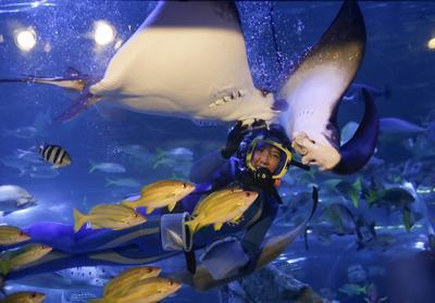Tokio (Japón ).- Un buzo alimenta a las Mantarayas, peces y tiburones en el acuario de Shinagawa. EFE