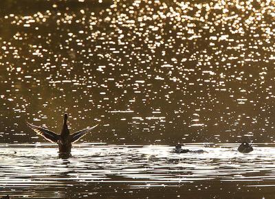 Frankfurt, Alemania.- Los patos nadan en un pequeño río en las afueras de Frankfurt , Alemania. (Foto AP)