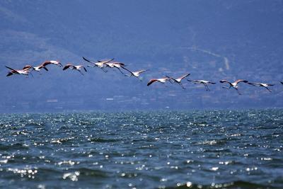 NAFLIO (GRECIA).- Flamencos sobrevuelan las aguas de Nea Kios en Naflio (Grecia). Los flamencos descansarán unos días en la zona antes de continuar su migración hacia lugares más cálidos para el otoño. EFE