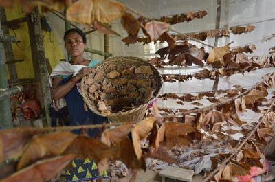 KAMRUP DEL SUR (INDIA).- Una mujer de la tribu Bobo sostiene una cesta con gusanos de seda nocturnos (Antheraea assamensis) en una granja de Boko, Kamrup del Sur, India. La fabricación de los gusanos de seda se es el negocio más lucrativo en el estado de Assam. Los gusanos de seda nocturnos viven 50 días en verano y máximo 150 días durante la estación del invierno. EFE