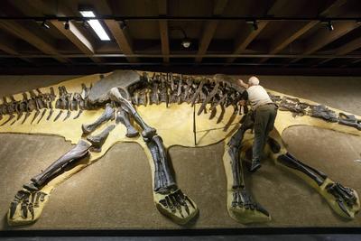 Ginebra (Suiza ).- Un miembro del Museo de Dinosaurios Aathal prepara 'Arapahoe' el esqueleto de dinosaurio para una exposición en el Museo de Historia Natural de Ginebra, en Ginebra, Suiza. El equipo Aathal Museo de los Dinosaurios ha descubierto Arapahoe en Wyoming, EE.UU., que mide 27,15 metros con una tasa de preservación de 80 por ciento (más de 200 huesos) del esqueleto. Sólo unos pocos huesos de la extremidad, el cráneo y la cola están desaparecidos. EFE