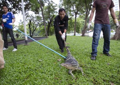 BANGKOK (TAILANDIA).- Cuidadores tailandeses atrapan a un dragón de Komodo durante la campaña de reubicación de reptiles en el parque Lumpini en Bangkok, Tailandia. Más de 400 dragones de Komodo han sido atrapados por las autoridades para ser llevados a un centro de especies salvajes, después de que varias personas hayan denunciado ataques de los reptiles mientras paseaban o montaban en bicicleta por el parque Lumpini. EFE