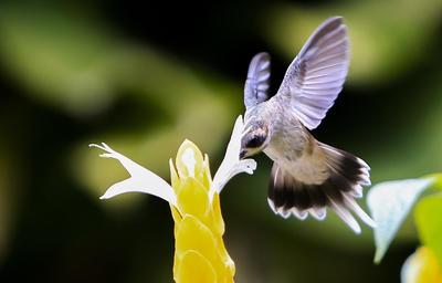 BUCARAMANGA (COLOMBIA).- Un colibrí (trochilinae) vuela sobre una flor, el jueves 15 de septiembre de 2016, en un jardín de Bucaramanga (Colombia). EFE/