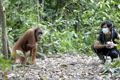 JANTHO (INDONESIA).- Un miembro del programa de conservación del orangután de Sumatra (SOCP) observa a un orangután en el centro de cuarentena y reintroducción en Jantho, Aceh Besar, Indonesia. El centro rescata oragutanes que han sido criados por hombres como mascotas y su objetivo es introducirlos en el mundo salvaje. Estos animales son entrenados para ser puestos en libertad posteriormente y que sean capaces de sobrevivir por su cuenta. Esta especie se encuentra dentro de la Convención sobre el Comercio Internacional de Especies Amenazadas de Fauna y Flora Silvestres (CITES) pues la población de orangutanes en las regiones de Sumatra y Kalimantan se estima que es menos de 30.000. EFE