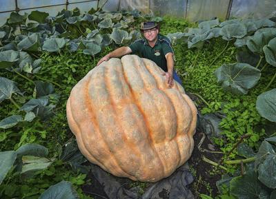 """FÜRSTENWALDE (ALEMANIA).- El agricultor Oliver Langheim posa junto a la calabaza """"Olli"""", de 550kg, en su invernadero en Furstenwalde (Alemania). Según el agricultor, la calabaza crece unos 5kg al día y ya alcanza una circunferencia de 4,86 metros. Langheim presentará a su calabaza al concurso de peso de calabazas de Klaistow el próximo 25 de septiembre, un concurso que se celebra todos los años, y cuya ganadora del año pasado alcanzó a pesar 709kg. EFE"""