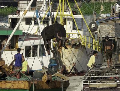 Manila (Filipinas).- trabajadores de los puertos filipinos descargar un búfalo de agua en el principal puerto del país en Manila, Filipinas. De acuerdo con los últimos datos de crímenes de mar de la Oficina Marítima Internacional, el sudeste de Asia representa recientemente para la mayoría de los navegantes el área con más ataques a nivel mundial, superando el Cuerno de África. Piratas en el sudeste de Asia están secuestrando cada vez más buques, petroleros y remolcadores, robar su carga, secuestra y roba a la tripulación  para pedir el rescate, según datos de la Cámara Internacional de Commerceís Oficina Marítima Internacional. EFE