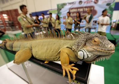 Yakarta (Indonesia).- Un lagarto de la iguana en la imágen durante un concurso de reptiles en expo del Indo Pet 2016 Tanggerang, Banten, Indonesia. El evento se desarrolla del 23 al 25 septiembre. EFE
