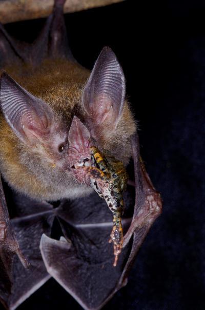 """CIUDAD DE PANAMÁ (PANAMÁ).- Fotografía cedida por el Instituto Smithsonian de Investigaciones Tropicales (STRI) en Panamá. En medio de la oscura y húmeda noche de los bosques tropicales de Panamá, una vez al mes investigadores, y también simples curiosos, se reúnen cerca de las riberas del Canal interoceánico para ser testigos de la vida de los murciélagos y entender un poco más cómo actúan estos depredadores de las ranas. La llamada """"Noche de Murciélagos"""" es organizada por el STRI en Panamá el primer domingo de cada mes, y pretende ser """"un gran laboratorio"""" para estudiantes, especialistas de diferentes países y también curiosos de esos mamíferos placentarios. EFE"""