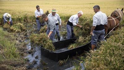 CATARROJA (VALENCIA).- Una cuadrilla de segadores trabajan en un campo de arroz durante la demostración de siega tradicional propia de la zona de la Albufera en la quinta edición de la Fiesta de la Siega organizada por la Denominación de Origen Arroz de Valencia. EFE