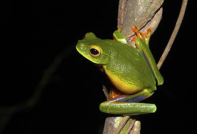 SÍDNEY, AUSTRALIA.- Fotografía facilitada por la Universidad de Nueva Gales del Sur de una nueva especie de rana arborícola verde, con patas naranja y muslos con tonos púrpura tornasolado fue descubierta en la península Cabo York, en el norte de Australia, informaron hoy fuentes académicas. La nueva especie identificada habita entre la isla Moa, en el estrecho de Torres, hasta una zona ubicada a 20 kilómetros al sur de la localidad de Coen, en la Península Cabo York. La rana había escapado del radar científico por su parecido con su pariente la rana arborícola graciosa, que habita más al sur, en la costa este del estado de Queensland y del norte del de Nueva Gales del Sur. EFE
