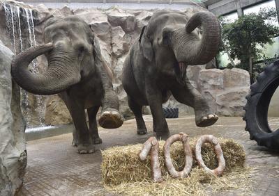 """MÜNSTER (ALEMANIA).- Rada y Tefi, dos elefantas de 50 años de edad, las más veteranas del zoo de Münster, celebran su cumpleaños juntas con unas barras de pan que conforman el número """"100"""" en el zoo de Münster, Alemania. Los elefantes suelen vivir entre 50 y 60 años. EFE"""