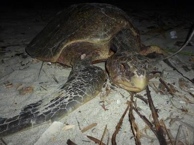 """PUNTA CHAME (PANAMÁ).- Fotografía sin fecha cedida por la Fundación Tortuguía, de un ejemplar de tortuga atacado por unos perros, en una playa de Punta Chame (Panamá). Cada año cientos de tortugas desovan en las playas panameñas del Pacífico, pero no solo las crías deben sobrevivir a los peligros del mar una vez salgan del huevo, sino que ahora los perros y """"hueveros"""" se han convertido en las amenazas principales a su supervivencia. A lo largo de la costa de Punta Chame, a unos 100 kilómetros al oeste de la capital de Panamá, perros deambulan y acechan sigilosamente los huevos que deposita en nidos de arena la tortuga lora, una especie marina que se encuentra en peligro de extinción. EFE"""
