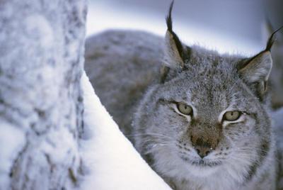 BUCAREST.- Fotografía facilitada por WWF, de uno de los pocos linces que habitan en los Cárpatos. Rumanía ha dejado de ser el coto de caza de Europa para osos, lobos y linces, después de que su Gobierno suspendiese por las presiones ecologistas un sistema de cuotas que establecían asociaciones cinegéticas. EFE